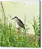 The Black-crowned Night Heron Canvas Print