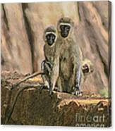 The Black-faced Vervet Monkey Canvas Print