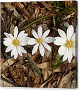 The Bloodroot Trio Canvas Print