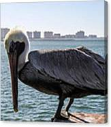 The Brown Pelican  Canvas Print