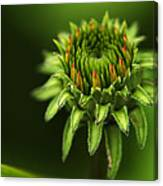 The Bud Is Prettier Than The Bloom Canvas Print
