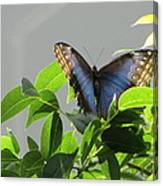 The Butterfly Displaying Its Beauty Canvas Print