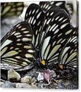 The Butterfly Gathering Canvas Print