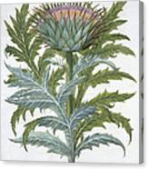 The Cardoon, From The Hortus Canvas Print