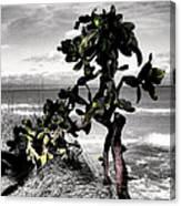 The Catus Tree Siesta Key Florida Canvas Print