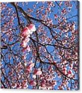 The Cherry Blossons Canvas Print