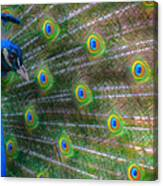 The Colours Of The Peacock Canvas Print