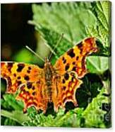 The Comma -- Polygonia C-album Canvas Print