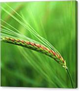 The Corn Canvas Print