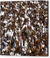 The Cotton Buzz In Alabama Canvas Print