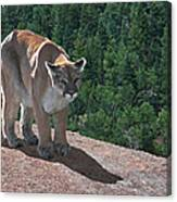 The Cougar 1 Canvas Print