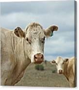 The Cows Canvas Print