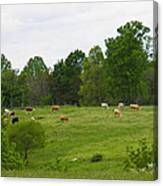 The Cows Of May Canvas Print