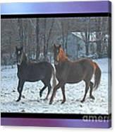 The Dancing Paso Fino Stallions Canvas Print
