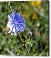 The Delicate Baby Blue Chickory Canvas Print