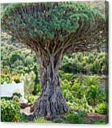 The Dragon Tree / El Drago Milenario Canvas Print