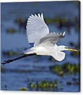 The Elegant Great Egret In Flight Canvas Print