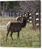 The Elk In Town Canvas Print