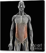 The External Oblique Muscles Canvas Print