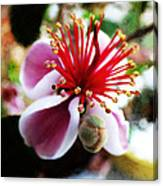 the Feijoa Blossom Canvas Print