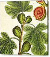 The Fig Tree Canvas Print