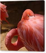 The Flamingo Wakens Canvas Print