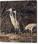 The Gathering...sandhill Cranes Canvas Print