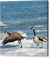 The Getaway Or Silly Goose Canvas Print