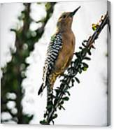 The Gila  Woodpecker Canvas Print