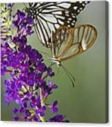 The Glasswing And A Friend  Canvas Print