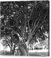 The Grandmother Tree Canvas Print