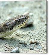 The Gray Eastern Rat Snake Right Side Head Shot Canvas Print