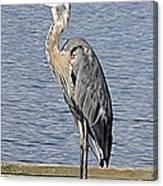 The Great Blue Heron Photo Canvas Print