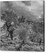 The Grouped Cottonwoods  Canvas Print