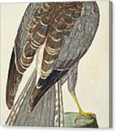 Hen Harrier Canvas Print