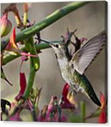 The Hummingbird And The Slipper Plant  Canvas Print