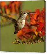 The Hummingbird Turns   Canvas Print