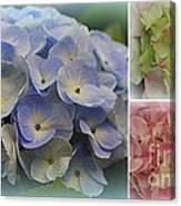 The Hydrangeas Of Late Spring Canvas Print