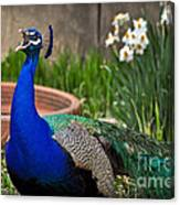 The Indian Peafowl Canvas Print