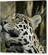 The Jaguar's Gaze Canvas Print