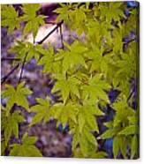 The Japanese Maple Canvas Print