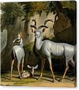 A Kudus Or Kudu Canvas Print