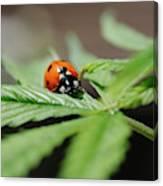 The Ladybug And The Cannabis Plant Canvas Print