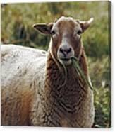 Feed My Sheep Canvas Print