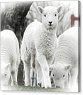 the Lamb is watching Canvas Print