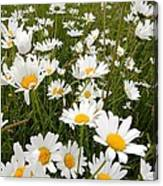 The Land Of White Daisies Canvas Print