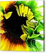 The Largest Sunflower In The Garden Summer Of 2013 Canvas Print