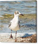 The Laughing Gull Strut Canvas Print