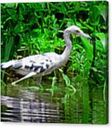 The Little Blue Heron Canvas Print