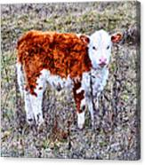 The Little Cow Canvas Print